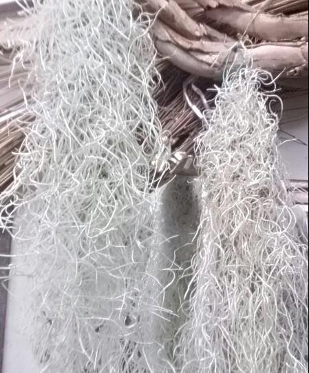 スパニッシュモス ウスネオイデス