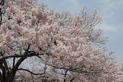 晴天の三の丸の桜