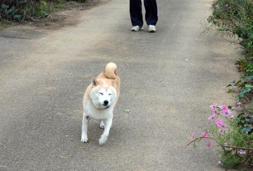 コスモス祭りの吾郎 (13)