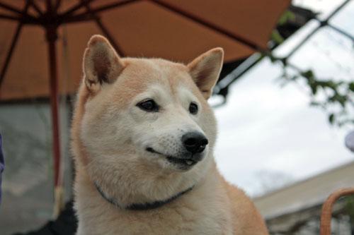 コスモス祭りの吾郎 (9)
