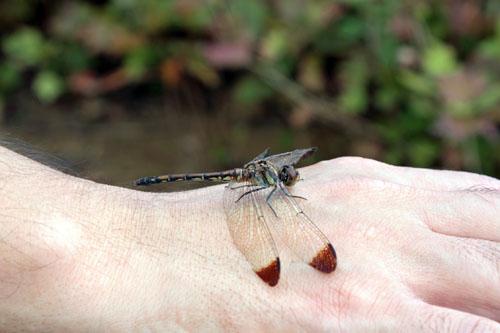 コスモス祭りで虫を撮る (4)