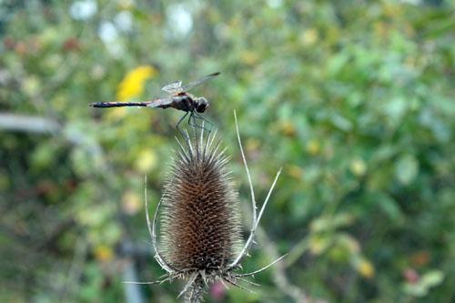 コスモス祭りで虫を撮る