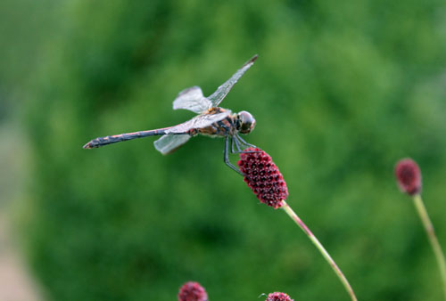 コスモス祭りで虫を撮る (9)