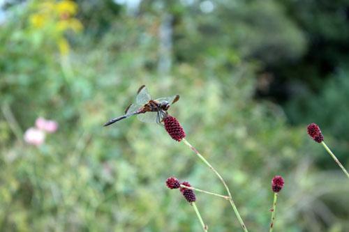 コスモス祭りで虫を撮る (8)