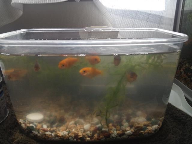 子金魚プラ水槽