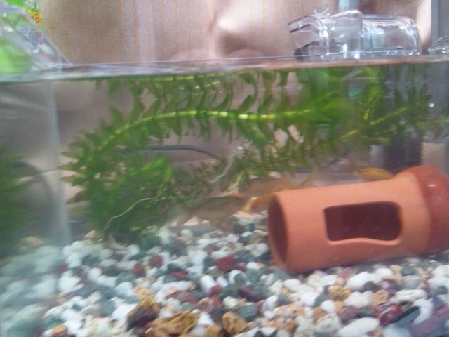戯れる子金魚