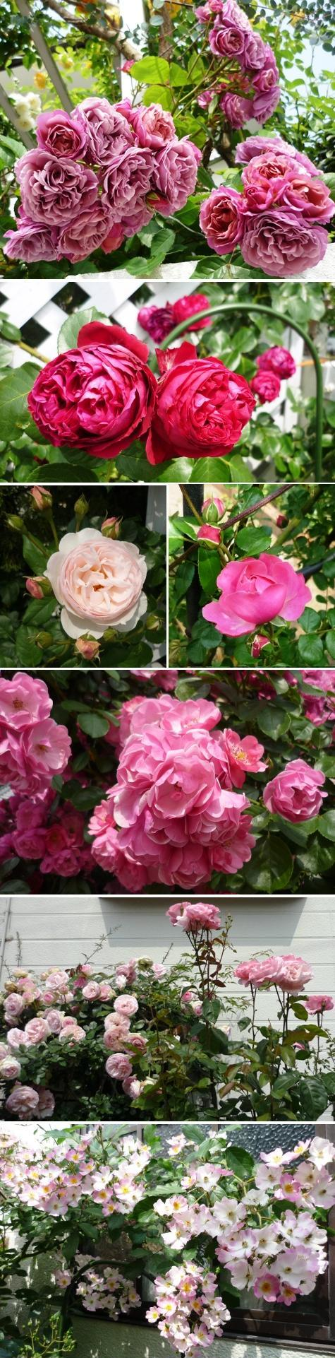 a薔薇2P1230850