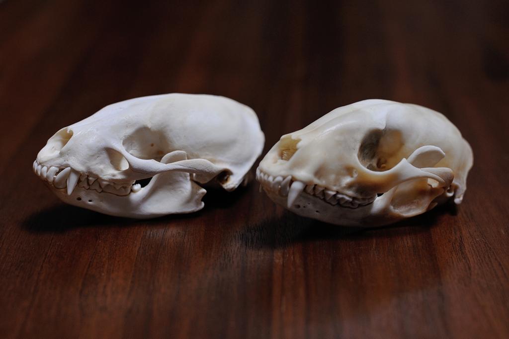 アライグマ&アナグマ頭骨