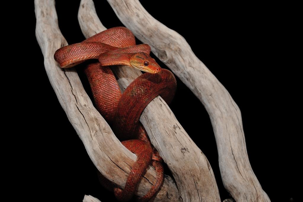 アマゾンツリーボア Corallus hortulanus hortulanus