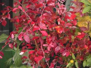 ブルーベリーの紅葉.JPG