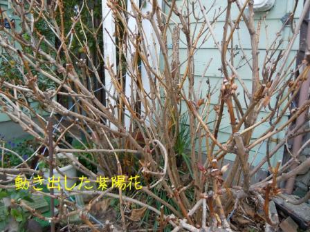 紫陽花 冬