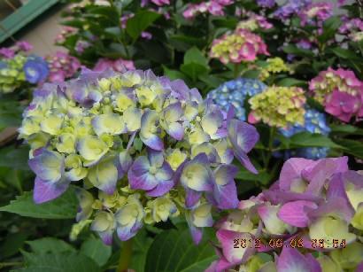 七変化 紫陽花