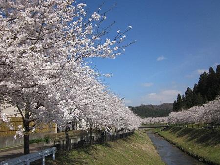 倶利伽羅塾裏の桜