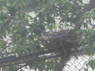 IMG_5154カラスの巣