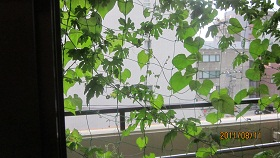 もっと濃い緑のカーテン