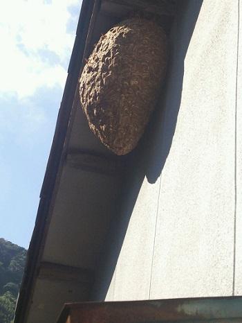 約70cmのスズメバチの巣