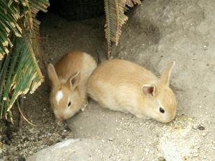 ウサギ島(ウサギ赤ちゃん)