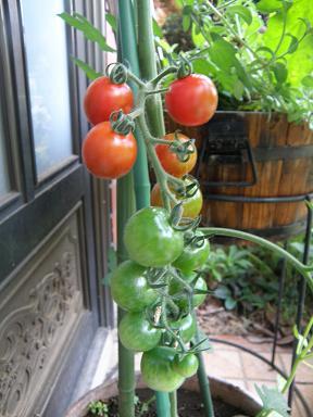 tomato73_20130723141103.jpg