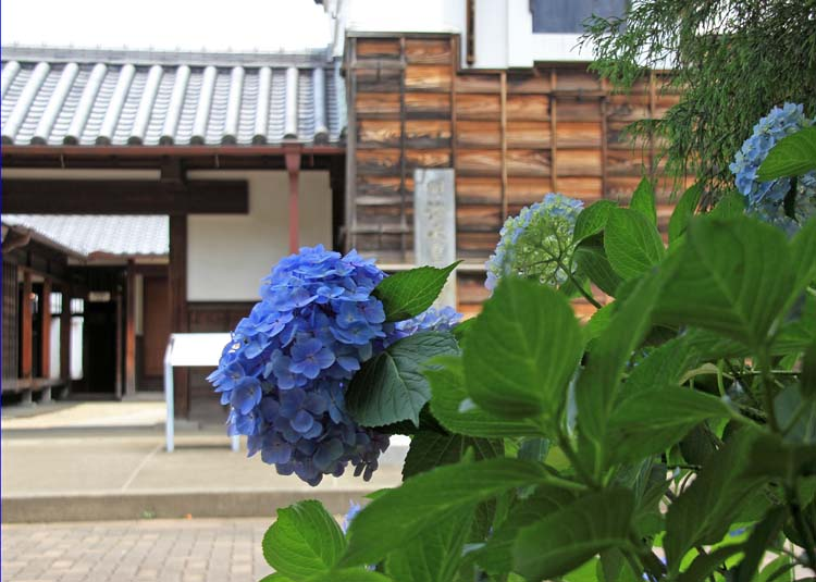 13ajisaiKM_03.jpg