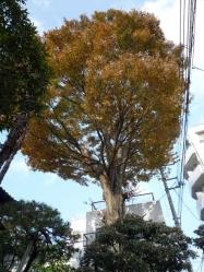 201411keyaki.jpg