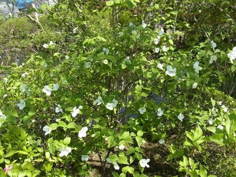 「シロヤマブキ ~白い4弁花」