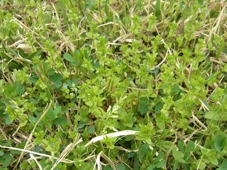 「タチイヌノフグリ ~茎立つ花極小のフグリ(1)」