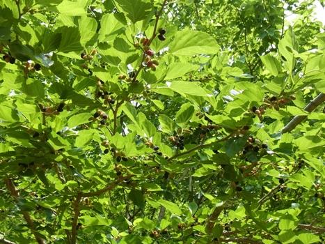 「クワ(ヤマグワ)~集合果実とカイコの葉」