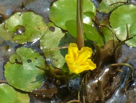 「水生植物 ~アサザ」