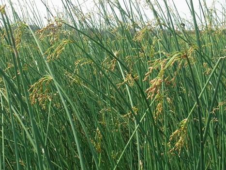 「フトイ ~茎が円い大型抽水植物」