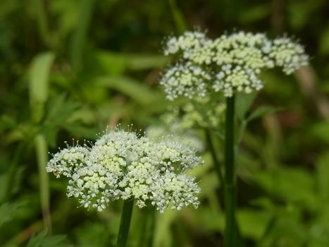 「セリ ~春の七草、夏の白い花」