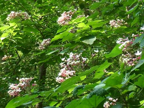「クサギ ~花は香り、葉は臭う(?)」