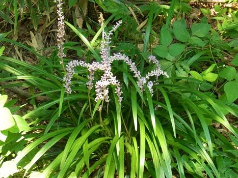 「ヤブラン ~常緑の葉と紫色の蕾・花(1)」