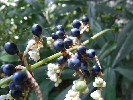 「ヤブミョウガ ~熟した果実は濃藍(1)」