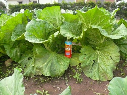現在の白菜P1050734