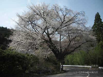 田人の石割桜1