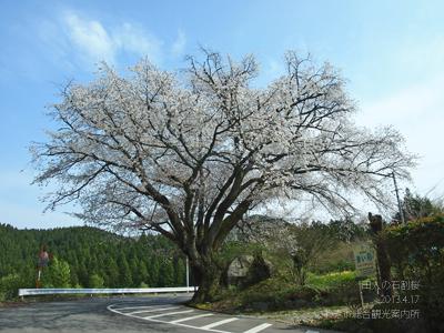 田人の石割桜2