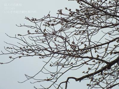 2013.4.9石割桜2