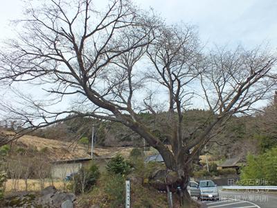 2013.4.9石割桜1