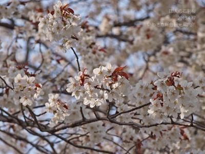 田人の石割桜3