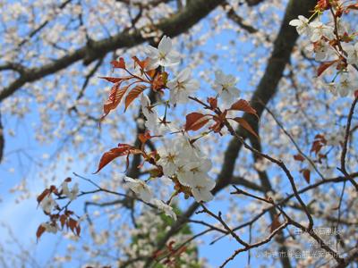 田人の石割桜4