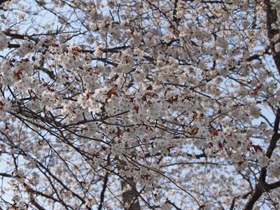 田人の石割桜5