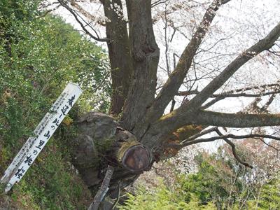 田人の石割桜6