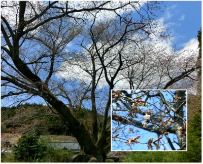 2013.4.14田人の石割桜