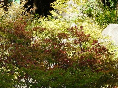 筑波実験植物園 ドウダンツツジの紅葉