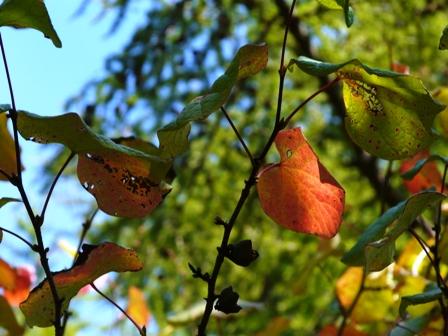 筑波実験植物園 マルバノキの紅葉
