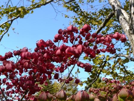 筑波実験植物園 コマユミの紅葉 1