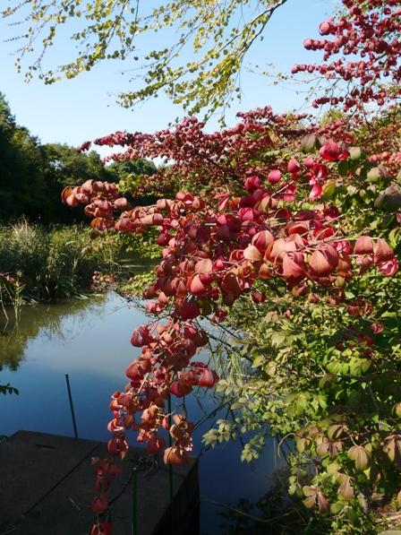 筑波実験植物園 コマユミの紅葉 2