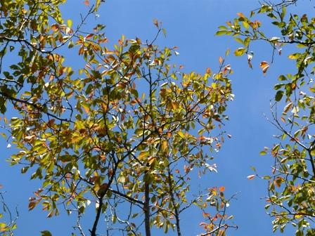 筑波実験植物園 オオシマザクラの紅葉