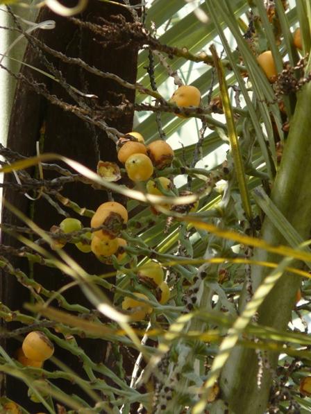 筑波実験植物園 ブラジルヤシ 2