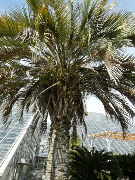 筑波実験植物園 ブラジルヤシ 1